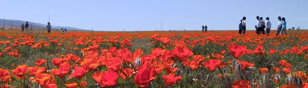 Full-field-of-poppies-4-1000×288