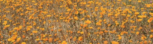 cropped-Field-of-yellow-flowers-awesome-1-500×144