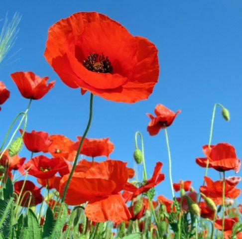 Poppies-e1503005523213